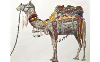 Obraz 150x120cm Wielbłąd Baktrian