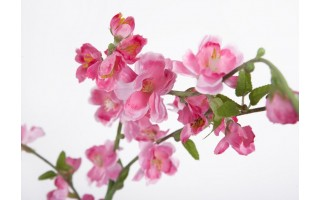 Brzoskwinia różowa 116cm