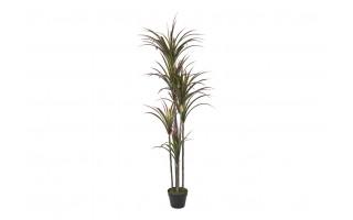 Roślina Dracena czerwona 160cm PROMO